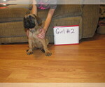 Small #24 Mastiff