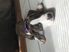 American Pit Bull Terrier Puppy For Sale in PEARLAND, TX,
