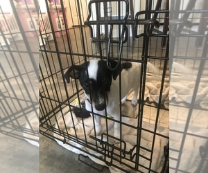 Ratshire Terrier Mix Dog for Adoption in LAFAYETTE, Louisiana USA