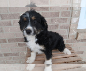 Bernedoodle Puppy for sale in CLEVELAND, OH, USA