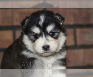 Pomsky Puppy for Sale in BREMEN, Indiana USA
