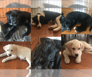 Labrador Retriever-Newfoundland Mix Puppy for Sale in SNEADS FERRY, North Carolina USA