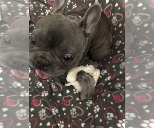 Mother of the French Bulldog puppies born on 08/17/2020