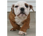 Puppy 1 Beabull-English Bulldog Mix