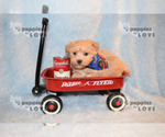 Small #8 Maltipoo-Poodle (Toy) Mix
