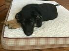 German Shepherd Dog Puppy For Sale in DIAMOND CITY, AR, USA