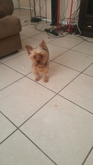 Yorkshire Terrier Puppy For Sale in TAMPA, FL