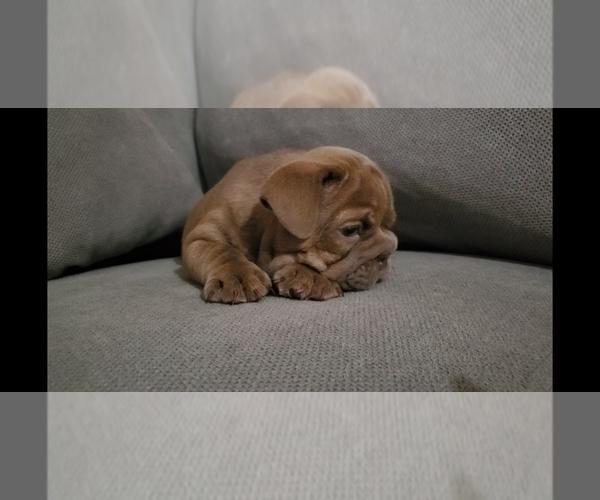 Medium Photo #5 Bulldog Puppy For Sale in BAKERSFIELD, CA, USA