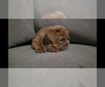 Small Photo #5 Bulldog Puppy For Sale in BAKERSFIELD, CA, USA