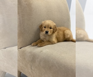 Golden Retriever Puppy for sale in BROOKLYN, NY, USA