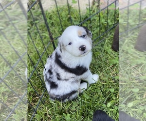 Australian Shepherd Puppy for sale in GROVE CITY, OH, USA