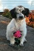 Puppy 2 Jack Russell Terrier-Poodle (Standard) Mix