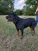 Rottweiler Puppy For Sale in FUQUAY VARINA, NC, USA