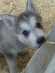 Wolf Hybrid Puppy For Sale in RICHMOND, KY