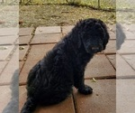Small #2 Poodle (Standard)