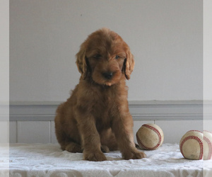 Goldendoodle Puppy for sale in GORDONVILLE, PA, USA