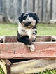 Aussiedoodle Puppy For Sale in CLINTON, Louisiana,