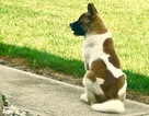 Akita Puppy For Sale in SIDNEY, OH, USA