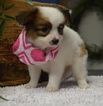 Papillon Puppy For Sale in TUCSON, AZ, USA