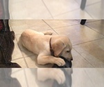 Labrador Retriever Puppy For Sale in HARKER HEIGHTS, TX, USA