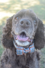 Cocker Spaniel Dog For Adoption in Houston, TX