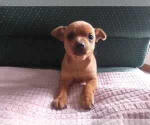 Chihuahua Puppy for sale in ANN ARBOR, MI, USA