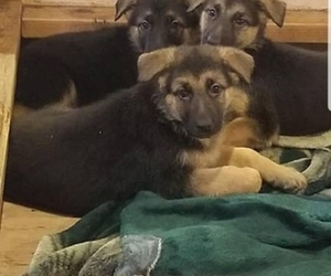 German Shepherd Dog Puppy for sale in BRECKENRIDGE HILLS, MO, USA