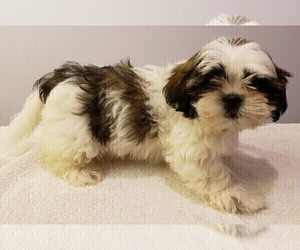 Shih Tzu Puppy for Sale in BEVIS, Ohio USA