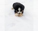 Small #12 Bernese Mountain Dog