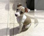 Small #13 Italian Greyhound