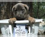 Puppy 7 Dutch Shepherd Dog