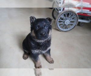 German Shepherd Dog Puppy for sale in SOUTH BEND, IN, USA