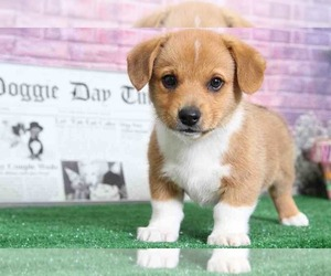 Pembroke Welsh Corgi Puppy for Sale in BEL AIR, Maryland USA
