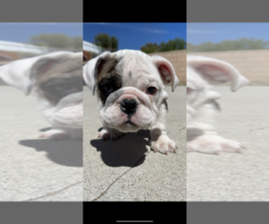English Bulldog Puppy for sale in MIDWAY CITY, CA, USA