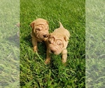Small #3 Chinese Shar-Pei