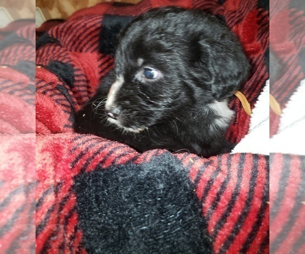 Medium Photo #5 Aussiedoodle Puppy For Sale in DERBY, IA, USA