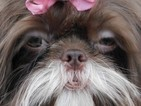 Shih Tzu Puppy For Sale in ENKA, NC, USA
