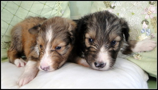 Shetland Sheepdog Puppy For Sale in STATHAM, GA