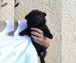 Pomeranian Puppy for Sale in SIERRA VISTA, Arizona USA