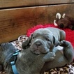 Cane Corso Puppy For Sale in PLACERVILLE, CA, USA