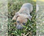 Small #8 American Pit Bull Terrier
