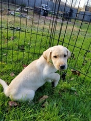 Purebred yellow lab puppy ready now with shots