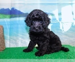 Image preview for Ad Listing. Nickname: Toy Poodle MIX