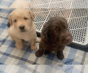 Labradoodle Puppy for Sale in VACAVILLE, California USA