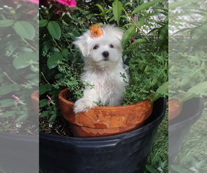 Maltese Puppy for sale in ALBUQUERQUE, NM, USA