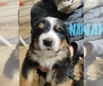 Small #20 Bernese Mountain Dog
