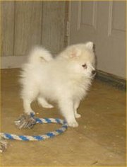 American Eskimo Dog Puppy For Sale in CAMPBELL, MN, USA