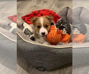 Pembroke Welsh Corgi Puppy for sale in UNIONVILLE, TN, USA