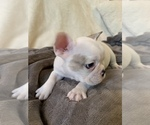 Small Photo #6 French Bulldog Puppy For Sale in JOHNS ISLAND, SC, USA