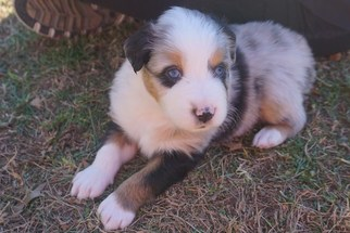Australian Shepherd Puppy For Sale in KEOKUK, IA, USA